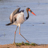 Saddle-billed Stork (4)