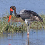 Saddle-billed Stork (5)