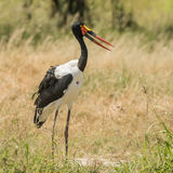 Saddle-billed Stork (6)