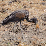 African Open-billed Stork (1)
