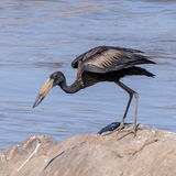 African Open-billed Stork (3)
