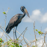 African Open-billed Stork (4)