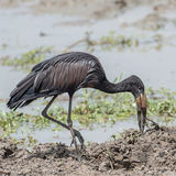 African Open-billed Stork (5)