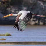 Yellow-billed Stork (2)