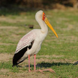 Yellow-billed Stork (3)