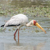 Yellow-billed Stork (4)