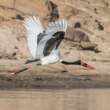 Saddle-billed Stork (7)