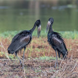 African Open-billed Stork (7)