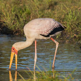 Yellow-billed Stork (5)