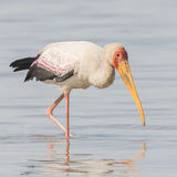 Yellow-billed Stork (7)