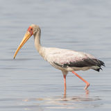 Yellow-billed Stork (8)