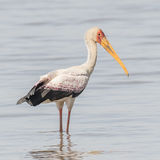 Yellow-billed Stork (9)
