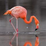 American Flamingo (1)