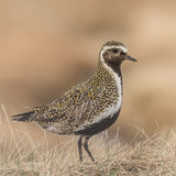 European Golden Plover (1)