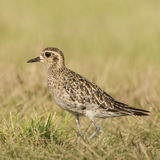 Pacific Golden Plover (2)
