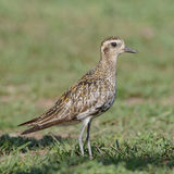 Pacific Golden Plover (3)