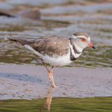 Three-banded Plover (1)