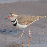 Three-banded Plover (2)