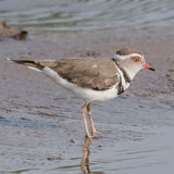 Three-banded Plover (3)