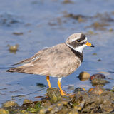 Common Ringed Plover (2)