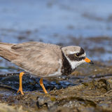 Common Ringed Plover (6)