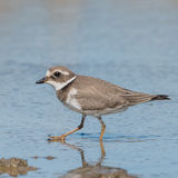 Common Ringed Plover (7)