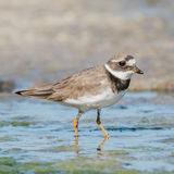 Common Ringed Plover (8)