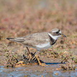 Common Ringed Plover (9)