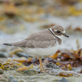 Common Ringed Plover (10)