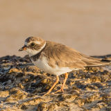 Semipalmated Plover (1)