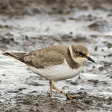 Little Ringed Plover (1)