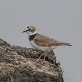 Little Ringed Plover (2)