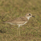 Greater Sand Plover (1)