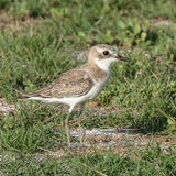 Greater Sand Plover (2)