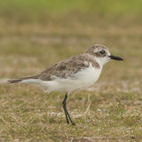 Greater Sand Plover (4)