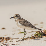 Greater Sand Plover (5)