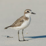 Greater Sand Plover (6)