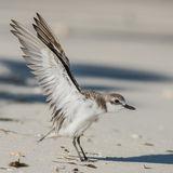 Lesser Sand Plover (2)