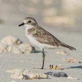 Lesser Sand Plover (3)