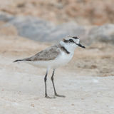 Kentish Plover (1)
