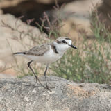 Kentish Plover (3)