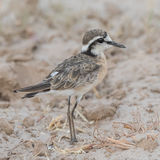 White-fronted Plover (1)