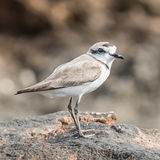 Kentish Plover (4)