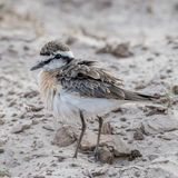 White-fronted Plover (2)