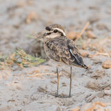 White-fronted Plover (3)