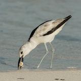 Crab Plover (8)
