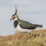Northern Lapwing (3)