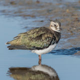 Northern Lapwing (4)