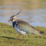 Northern Lapwing (5)
