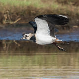 Northern Lapwing (6)